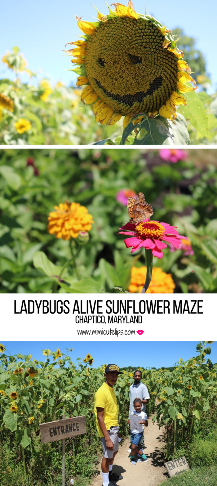 A day of fun was had at the Ladybugs Alive Sunflower Maze in Chaptico, MD. This is located in St. Mary's County. #Sunflowers #SunflowerField #SunflowerMaze